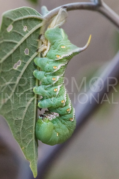 Carolina Sphinx Moth (Caterpillar)