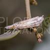 Mottled Grass Veneer Moth
