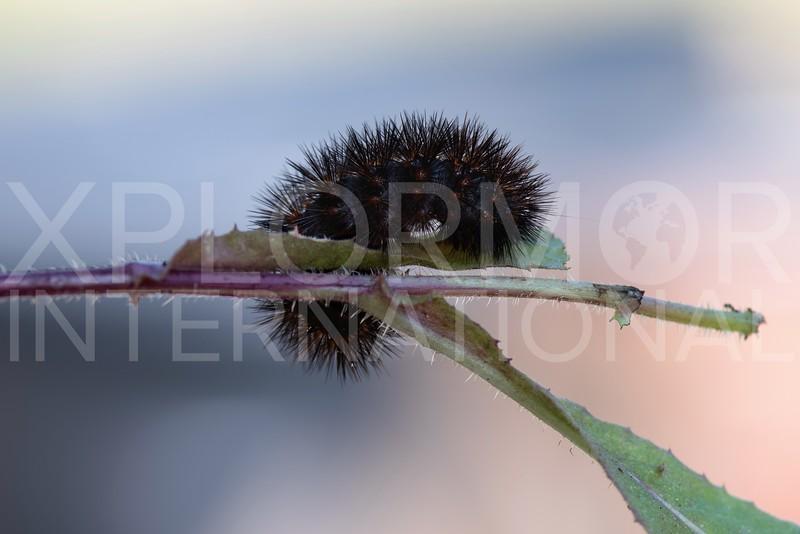 Tiger Moth (Caterpillar)