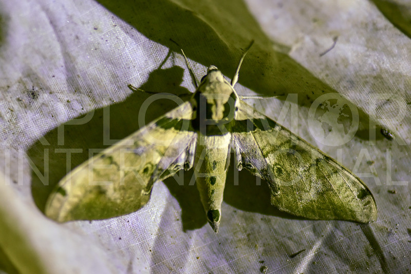 Sphinx Moth (Male)