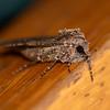 Variegated Cutworm Moth