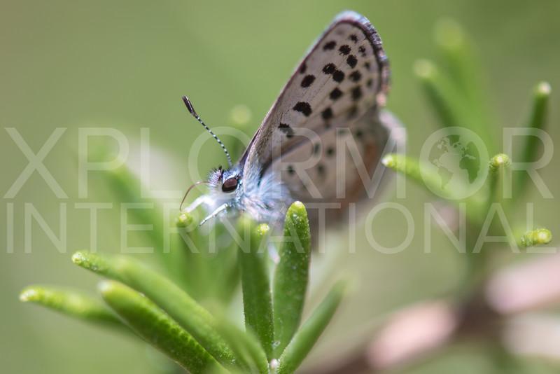 Bernardino Dotted-Blue