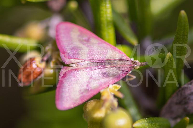 Southern Purple Mint Moth