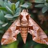Achemon Sphinx