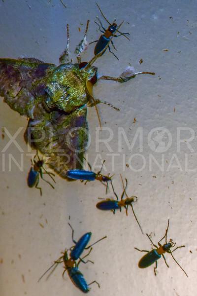 Prominent Moth - Need ID