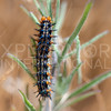 Common Buckeye (Caterpillar)