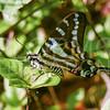 Cuban Kite Swallowtail