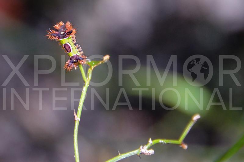 Saddleback Caterpillar Moth (Caterpillar)