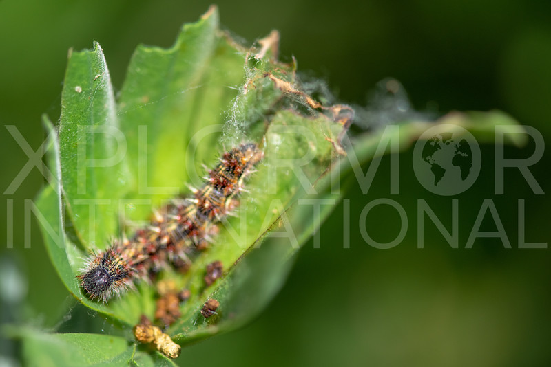 Painted Lady (Caterpillar)