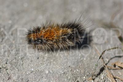 Tiger Moth Caterpillar on Santa Cruz Island