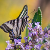 Pale Swallowtail Butterfly