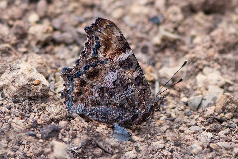 California Tortoiseshell