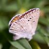 Boisduval's Blue (Subspecies)