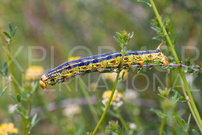 White-lined Sphinx Moth (Caterpillar)