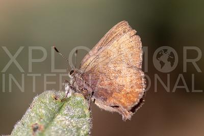 Brown Elfin