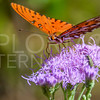 Gulf Fritillary with Beetle