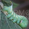 Carolina Sphinx Moth (Caterpillar)