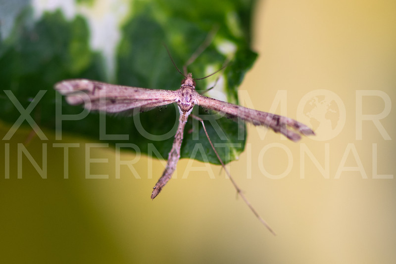 Plume Moth