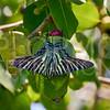 Boisdubal's Urania Swallowtail Moth in Cuba
