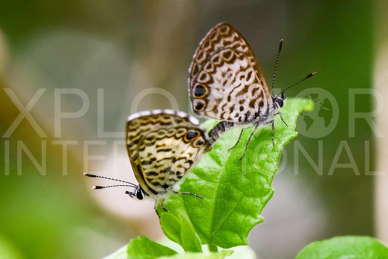 Cassius Blue (Mating Pair)