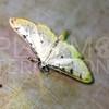 Crambid Snout Moth - Need ID