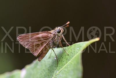 Monk Skipper Butterfly in Cuba