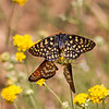 Chacledon Checkerspot