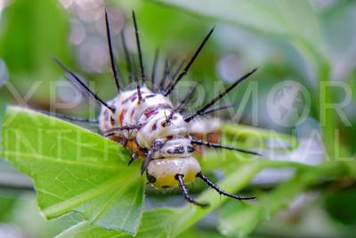 Zebra Longwing Caterpillar
