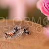 Western Tussock Moth (Caterpillar)