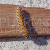 Genista Broom Moth (Caterpillar)