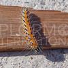 Genista Broom Moth (Caterpillar)