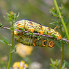 White-lined Sphinx Moth (Caterpillar)