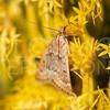 Garden Webworm Moth