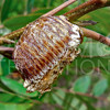 Mantis Egg Sack
