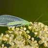 Common Green Lacewing - Need ID