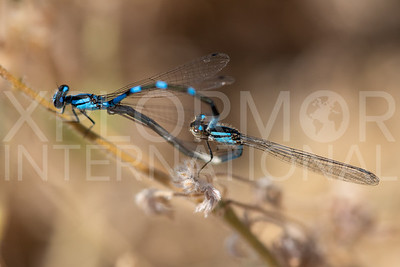Tule Bluet (Mating Pair)