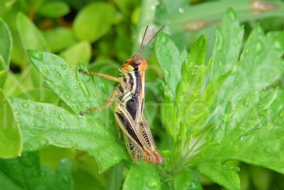 Spurthroat Grasshopper 3