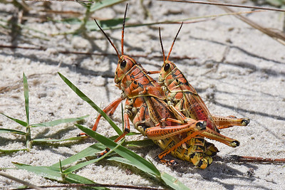 Male and Female Eastern Lubber Grasshoppers 2