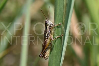 Spurthroat Grasshopper 2