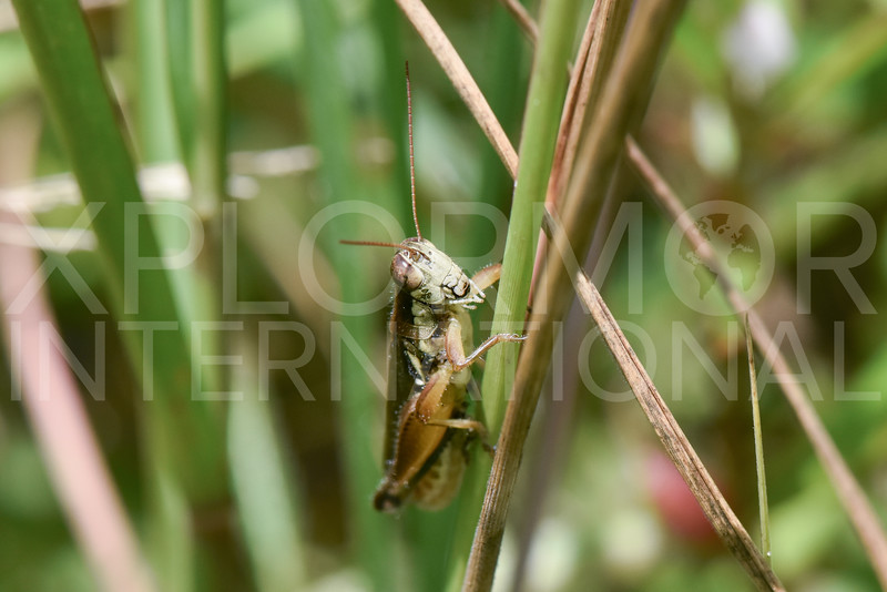 Spur-throated Grasshopper - Need ID