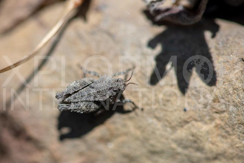 Pygmy Grasshopper - Need ID