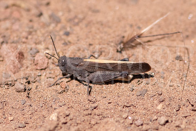 California Orange-winged Grasshopper