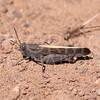 California Orange-winged Grasshopper