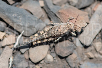 Pallid-winged Grasshopper