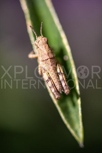 Short-horned Grasshopper - Need ID