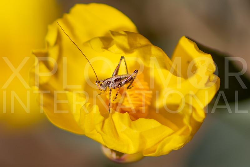 Grasshopper (Nymph) - Need ID
