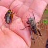 Crickets - Need ID