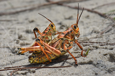 Male and Female Eastern Lubber Grasshoppers