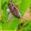 Tropical House Cricket