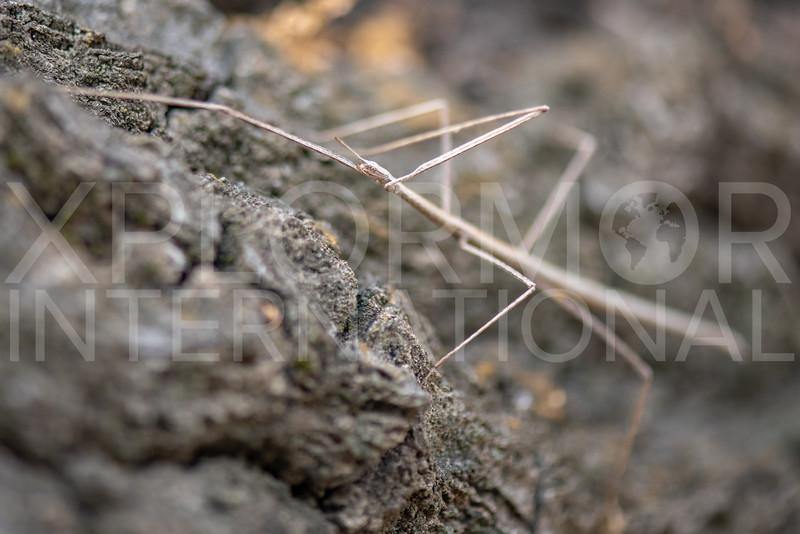 Western Short-horn Walkingstick